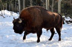 bison1 Zdjęcia Royalty Free