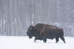 Bisonbisonbison i en häftig snöstorm, älgönationalpark, Kanada arkivfoton