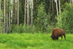 bisonbuffel Fotografering för Bildbyråer