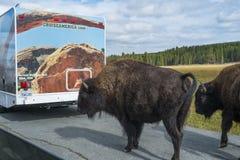 Bisonbuffel på vägen i den Yellowstone nationalparken Royaltyfria Bilder