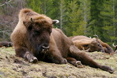 bisoneuropean Royaltyfria Bilder