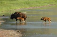 bisonfamilj Arkivfoton