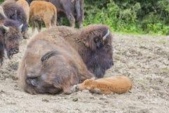 Bisonfamily Foto de archivo libre de regalías