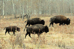 bisonflock Arkivbild