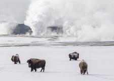 Bisonflockresande till och med snö med geysers och Hot Springs arkivbilder