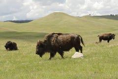 Bisongruppe auf Grasland lizenzfreie stockfotografie