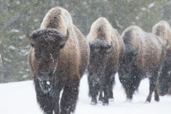 Bisonherde, die in Schnee geht Stockbild