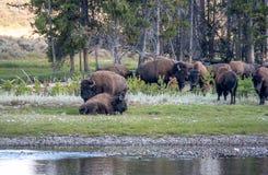 Bisonherde in Yellowstone Stockfotografie
