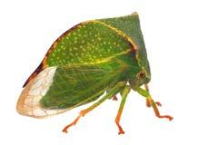bisonia水牛stictocephala treehopper 库存照片