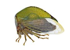 Bisonia van cicadestictocephala Royalty-vrije Stock Foto's