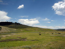 Bisonic March. Behold, bison on the range - keep the idiotic frontiersman away Royalty Free Stock Photography