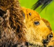 Bisonkalb und Mutter, Elch-Insel-Nationalpark, Alberta, Kanada Lizenzfreies Stockbild