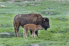 Bisonkon med nytt behandla som ett barn kalven arkivbild