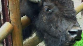 Bisonkopf Nahaufnahme des Bisonkopfes hinter Zäunen im Zoo Tierkopf stock video footage