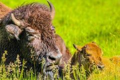 Bisonmutter mit Kalb, Elch-Insel-Nationalpark, Alberta, Kanada Stockbild