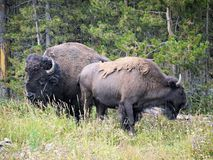 Bisonpar i Yellowstone Royaltyfri Fotografi