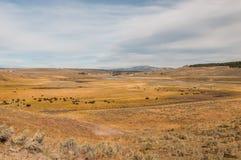 Bisonparadis i den Yellowstone nationalparken Arkivfoton