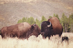 Bisons Stock Photo