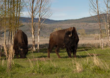 Bisons Royalty Free Stock Photography