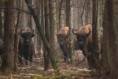 Bisons Royalty Free Stock Image