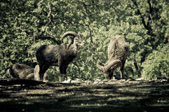 Bisons Stock Photography