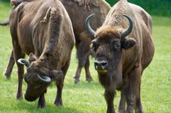 Bisons. Herd of bisons in polish national park Royalty Free Stock Photography
