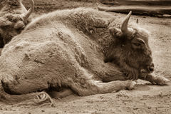 Bisons close up sleeping on a ground in the zoo. Sepia photo of Royalty Free Stock Images