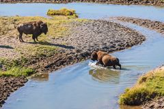 Bisons crossing a river in Yellowston Stock Photo