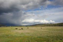 Bisons en parc Images libres de droits