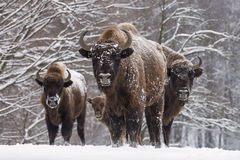 Bisons family in winter day in the snow Stock Photos