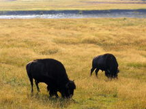 Bisons feeding by the river in Yellowstone NP, Wyoming stock photo