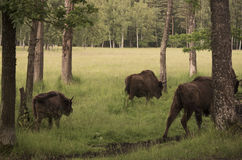 Bisons in a forest Stock Photo