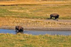 Bisons go on a watering Royalty Free Stock Photo