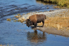 Bisons go on a watering place in Yellowstone Royalty Free Stock Photography