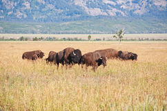 Bisons at Grand Teton National Park Stock Images