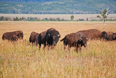 Bisons at Grand Teton National Park Royalty Free Stock Photography