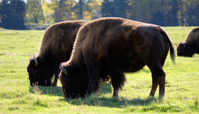 Bisons grazing Royalty Free Stock Photography