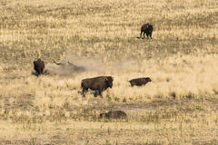 Bisons grazing and rolling around in dust and dirt on grassland in Utah Stock Photos