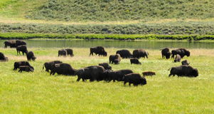 Bisons grazing in valley yellowstone national park Stock Photo