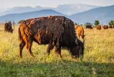 Bisons II Royalty Free Stock Photos
