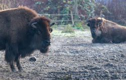 Bisons in the morning. On a cold morning these bisons were doing nothing but standing. Lazy bisons Stock Images
