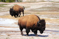 Bisons near Old Faithful, Yellowstone National Park, Wyoming Royalty Free Stock Photo