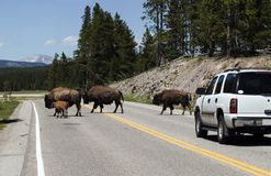 Bisons on the road. Bisons crossing the road in Yellowstone National Park Stock Photos