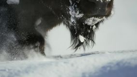 Bisons seek grass is deep beneath the snow. Their thick coats can insulate them down to -20 Fahrenheit. stock photos