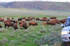 bisons som korsar vägen yellowstone Arkivfoton