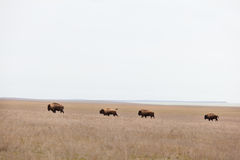 Bisons in the steppe, prairies Stock Photography
