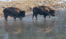 Bisons striding through shallow water. A pair of bison stride through shallow waters casting ghostly reflections on the surface Royalty Free Stock Images