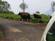 Bisons sur la route Photographie stock libre de droits