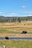 Bisons on a watering place Royalty Free Stock Images