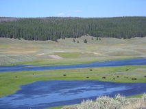 Bisons in Yellowstone royalty free stock images